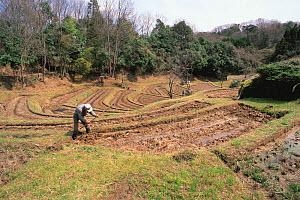 Cultivating Rice (Oryza sativa) plants in rice field,  Shiga, Japan, Asia, March  -  Nature Production