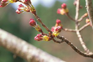 Cherry tree branch (Prunus / Cerastes sp) flowers emerging from buds, April, Shiga, Japan, flowering sequence 4/9  -  Nature Production