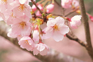 Cherry tree branch (Prunus / Cerastes sp) flowers in bloom, April, Shiga, Japan, flowering sequence 6/9  -  Nature Production