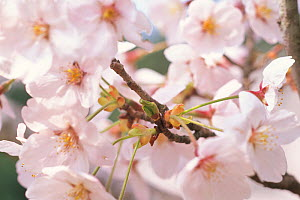 Cherry tree branch (Prunus / Cerastes sp) flowers in full bloom, April, Shiga, Japan, flowering sequence 7/9 - Nature Production