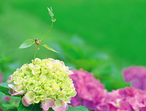 Japanese Tree frog (Hyla japonica) sub-adult, climbing up a vine above Hydrangea flower, Japan - Nature Production