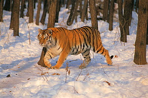 Siberian tiger (Panthera tigris altaica) walking in snow in woodland, Gaivoron, Russia Endangered species  -  Nature Production