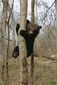 Asiatic black bear (Ursus thibetanus) cub climbing tree, Russia, spring  -  Nature Production