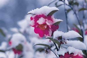 Sazanqua Camellia (Camellia sasanqua) flowering in snow, Japan - Nature Production