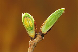 Cross section of Wild Cherry (Prunus / Cerasus jamasakura) flower bud (on left) and leaf bud (on right) in winter, Kyushu, Japan  -  Nature Production