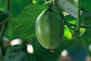 Melon (Cucumis melo) fruit developing, Japan, sequence 2/4  -  Nature Production