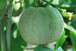 Melon (Cucumis melo) fruit developing, Japan, sequence 3/4  -  Nature Production