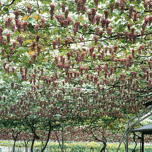 Grapevine trellis (Vitis vinifera) in vineyard with bunches of grapes hanging down, October, Japan - Nature Production