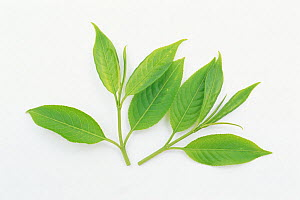 Japanese Spindle Tree (Euonymus sieboldianus) young leaves on white background, Japan  -  Nature Production