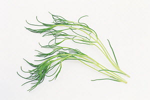 Saltwort (Salsola komarovii) leaves on white background, Japan  -  Nature Production