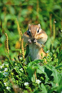 Ezo Chipmunk (Tamias sibiricus lineatus) with its mouth full and buccal pouch swollen with seeds, Mt. Daisetsu, Hokkaido, Japan, August  -  Nature Production