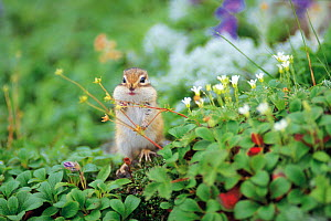 Ezo Chipmunk (Tamias sibiricus lineatus) with its mouth full and buccal pouch swollen with plants and seeds, Mt. Daisetsu, Hokkaido, Japan, August  -  Nature Production