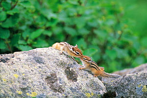 Ezo Chipmunk (Tamias sibiricus lineatus) adult interacting with young, Mt. Daisetsu, Hokkaido,  Japan, August  -  Nature Production