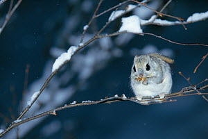 Russian Flying Squirrel (Pteromys volans) foraging in tree, Hokkaido, Japan, March - Nature Production