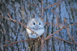 Russian Flying Squirrel (Pteromys volans) resting on branch, Hokkaido, Japan, February - Nature Production