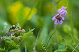 Japanese Tree Frog (Hyla japonica) and Seven-spotted ladybird, Japan - Nature Production