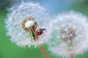 Seven-spotted ladybird (Coccinella septempunctata) on dandelion seedhead  -  Nature Production