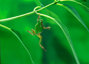 Japanese tree frog (Hyla japonica) climbing up onto leaf, Japan, sequence 1/3 - Nature Production