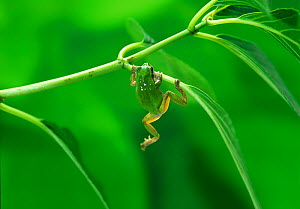 Japanese tree frog (Hyla japonica) climbing up onto leaf, Japan, sequence 3/3 - Nature Production