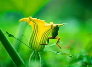 Japanese tree frog (Hyla japonica) hanging from Pumpkin flower, Japan  -  Nature Production