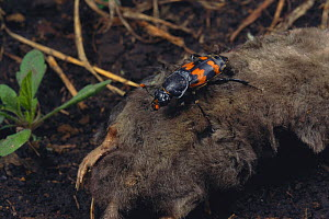 Burying beetle (Nicrophorus japonicus) feeding on dead mole, Japan - Nature Production