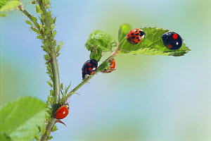 Multicoloured asian ladybird (Harmonia axyridis) adults showing different colour types on leaf, Japan  -  Nature Production