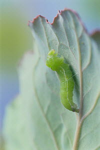 Small white butterfly (Pieris rapae crucivora) caterpillar larva attached to leaf by thread, about to pupate, pupation sequence 1/9, Japan - Nature Production