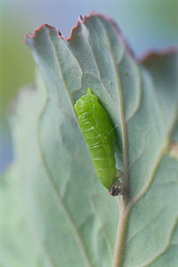Small white butterfly (Pieris rapae crucivora) pupation sequence 2/9, Japan - Nature Production