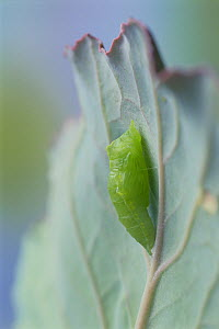 Small white butterfly (Pieris rapae crucivora) pupation sequence 3/9, Japan - Nature Production