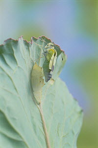 Small white butterfly (Pieris rapae crucivora) adult emerging from pupa, pupation sequence 7/9, Japan - Nature Production