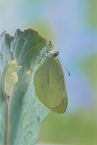 Small white butterfly (Pieris rapae crucivora) adult recently emerged from pupa, pupation sequence 9/9, Japan - Nature Production