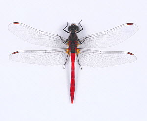 Darter dragonfly (Sympetrum eroticum) male, Japan  -  Nature Production
