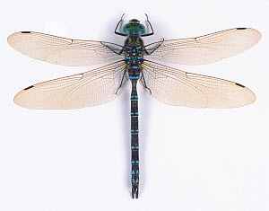 Hawker dragonfly (Aeshna nigroflava) male, Japan  -  Nature Production