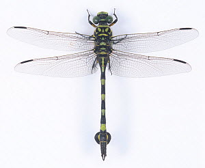 Golden Flangetail dragonfly (Sinictinogomphus clavatus) male, Japan - Nature Production