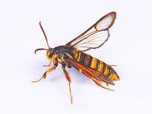 Hornet moth (Sesia molybdoceps) female, Japan - Nature Production