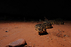 Puff Adder (Bitis arietans) hunting at night. Little Karoo, Western Cape, South Africa.  -  Tony Phelps