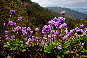 Drumstick primrose (Primula denticulata)  high elevation flowers of the Himalaya. Bhutan, February.  -  Sandesh Kadur