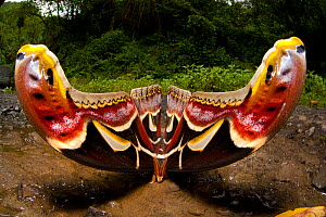 Edwards Atlas Moth (Attacus edwardsii) defensive display. Bhutan, June.  -  Sandesh Kadur