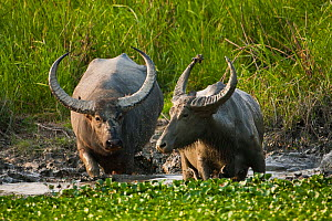 Two wild Water Buffalo (Bubalus arnee) wading though water. Assam, India, April.  -  Sandesh Kadur