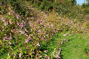 Dense stands of Himalayan Balsam (Impatiens glandulifera) flowering on damp pastureland in autumn. Wiltshire, UK, October.  -  Nick Upton