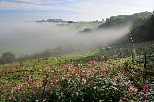 Himalayan Balsam (Impatiens glandulifera) clump flowering on pastureland in autumn, with mist in the valley below. Wiltshire, UK, September 2010.  -  Nick Upton