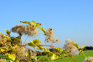 Old man's beard, the seedheads of Wild Clematis (Clematis vitalba) in an autumn hedgerow. Wiltshire, UK, October.  -  Nick Upton