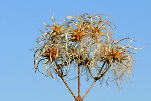 Old man's beard, the seedheads of Wild Clematis (Clematis vitalba) close up view against blue sky. Wiltshire, UK, October.  -  Nick Upton