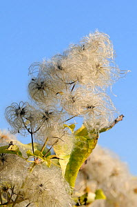 Old man's beard, the seedheads of Wild Clematis (Clematis vitalba) against blue sky. Wiltshire, UK, October.  -  Nick Upton