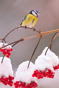 Blue Tit (Parus caeruleus) on Guelder Rose branch with red berries. Bavaria, Germany, December.  -  Hermann Brehm