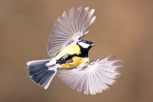 Great Tit (Parus major) in flight. Bavaria, Germany, December.  -  Hermann Brehm