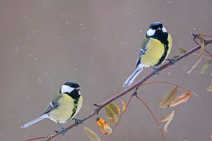 A pair of Great Tits (Parus major) perching on a twig. Bavaria, Germany, January.  -  Hermann Brehm