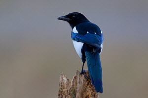 Magpie (Pica pica) perched on a stump. Bavaria, Germany, October. - Hermann Brehm
