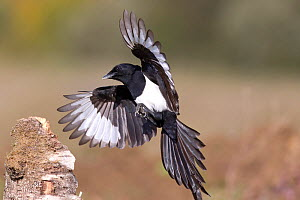 Magpie (Pica pica)flying in to land on a stump. Bavaria, Germany, October. - Hermann Brehm