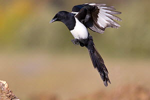 Magpie (Pica pica) just about to land. Bavaria, Germany, October. - Hermann Brehm